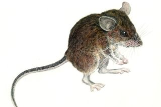 new forest mouse