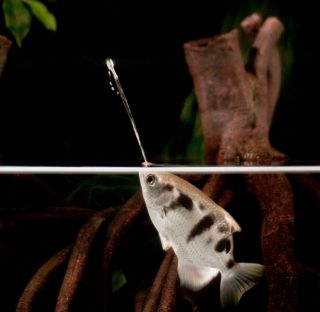 Archerfish target their prey with jets of water.