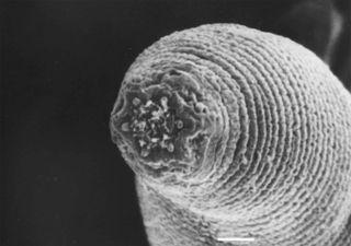 Deepest worm, H. mephisto