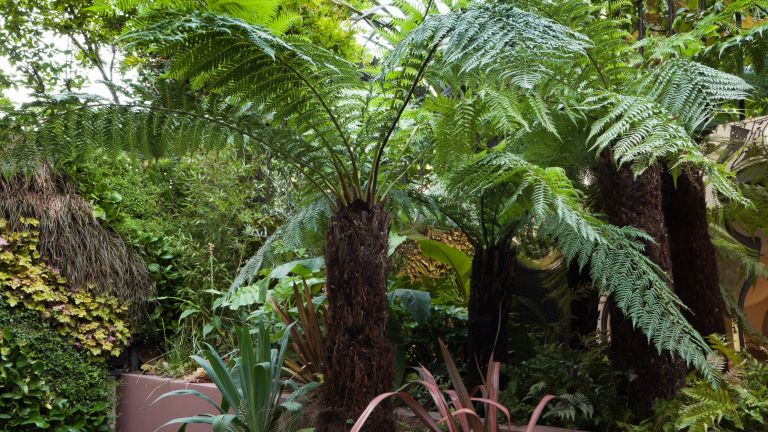 Learn how to grow ferns such as the tree fern dicksonia