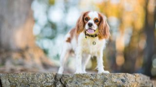 One of the best dog breeds for first-time owners, the Cavalier King Charles Spaniel stood outside on a rock with background blurred