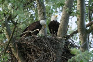 a pair of bald eagles in a nest.