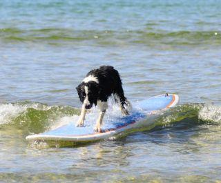 Dog surfing on a longboard.