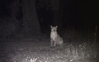 animals, mountain lions, cougar, panther, caught on video, video of mountain lions, mountain lions in California,