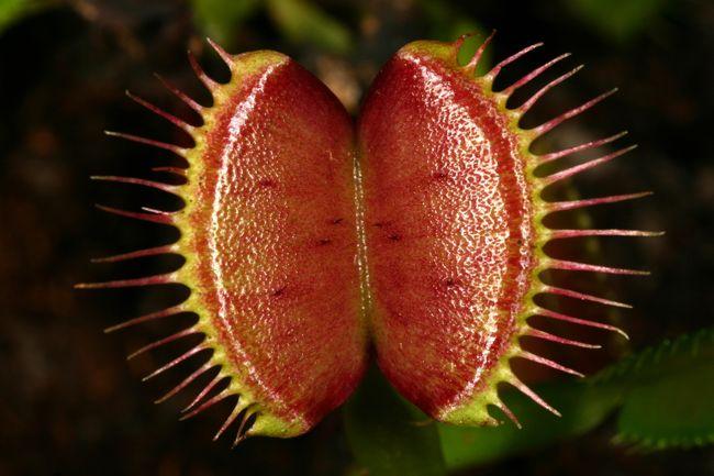 Venus flytrap devouring a spider