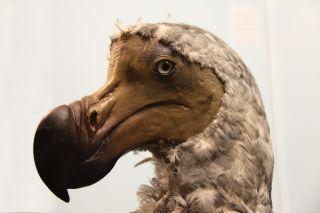 Dodo specimen