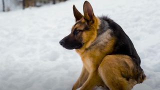 German Shepherd dog with short-spine syndrome sitting in the snow