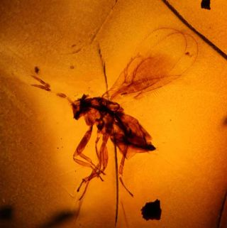 Ancient Life Trapped in Amber