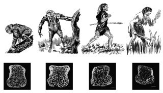 Human Bone Evolution