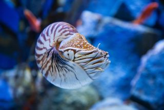 Nautlius seem to be solitary creatures, but when they get together they can spend hours mating. Here, a chambered nautilus (<em>Nautilus pompilius</em>).