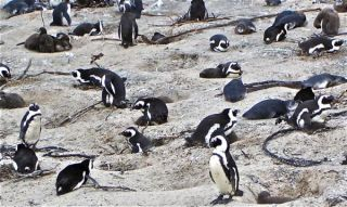 african-penguins-colony-110304-02