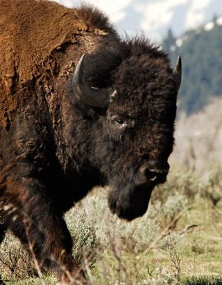 bison, buffalo, native species, conservation, cattle, livestock, wildlife management, american bison society, national bison association, wildlife conservation society, conservation herds, bison ranching, buffalo ranching