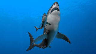 Megalodon probably gave birth to live young, as do the majority of modern sharks.