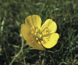 buttercup flower, ranunculus repens, the anatomy of a buttercup's petals explain its unusual gloss.