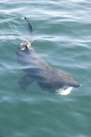A basking shark feeding.