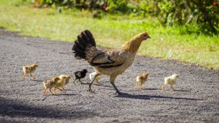 Feral baby chickens crossing a road with their mother on Kauai, Hawaii.
