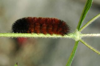 Woolly bear caterpillar, animal, insect weather forecasters