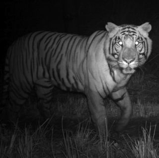 Bengal tiger at night.