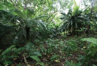 cycad-forest-100714-02