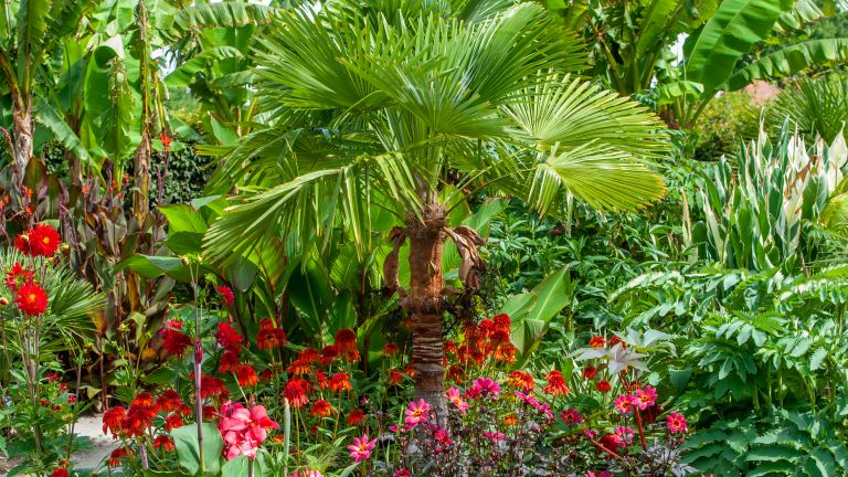 Palm tree Trachycarpus fortunei (Chusan Palm tree) planted with Coneflowers and Dahlias in a summer garden