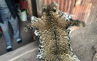 Jaguar pelt in Arizona