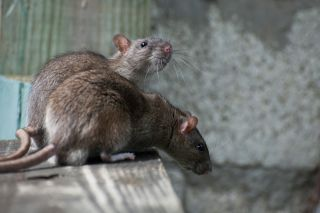 pair of rats on white background