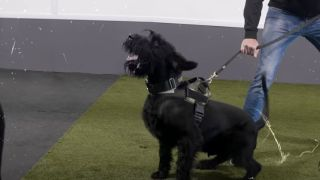 Giant Schnauzers look like no other guard dogs in the world