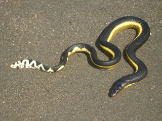 a yellow-bellied snake