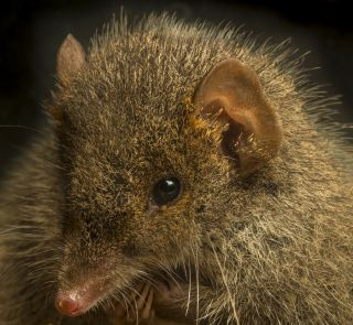 Black-tailed antechinus (Antechinus arktos) is under threat.