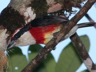 Bright bird discovered in Peru.