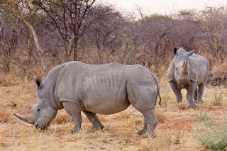 White rhinos in Namibia. Credit: Ikiwaner | Creative Commons