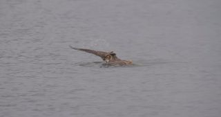 Great horned owl swimming