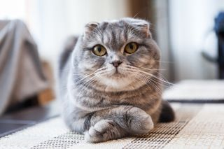 A cute Scottish Fold cat.