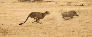 Cheetah in Kruger National Park chasing wart hog at full speed.