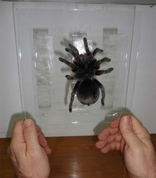 Fernando Pérez-Miles, of the University of the Republic in Uruguay, and his team tested out tarantulas' superhero abilities on vertical glass slides.