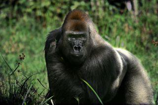 a male silverback gorilla