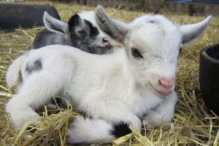 Goat kids, like these, appear to pick up accents from one another, a study indicates.
