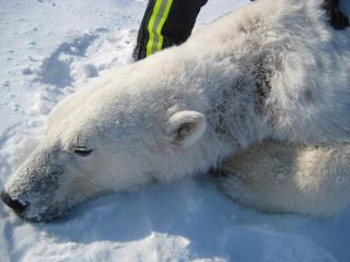This polar bear, captured and immobilized by USGS scientists, shows hair loss and oozing sores on the left side of its neck. The cause of the alopecia and lesions is still unknown.