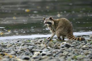 raccoon foraging along the shoreline