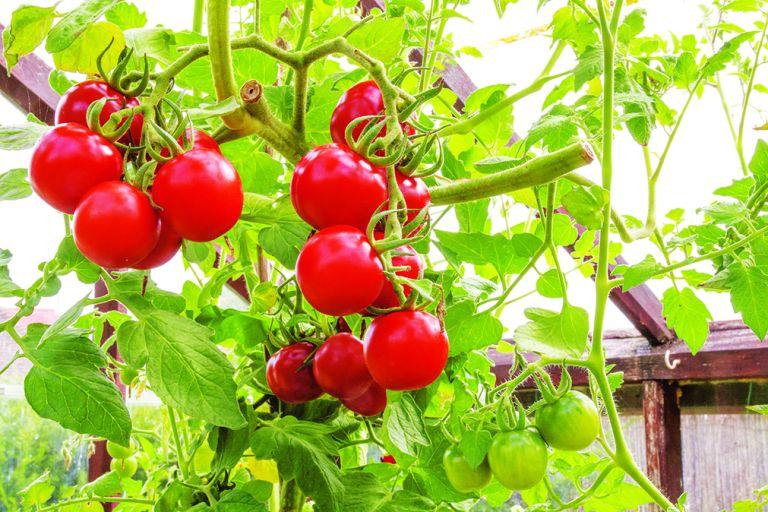 Immunity garden trend – tomatoes