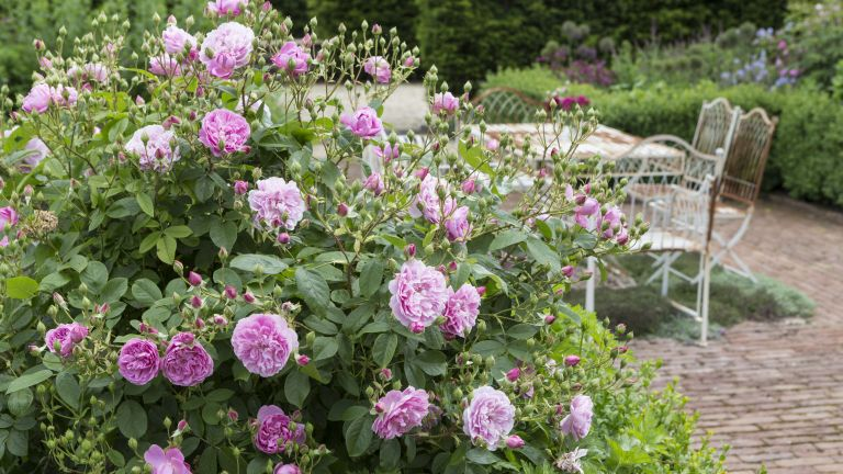 Rambling roses in a country garden
