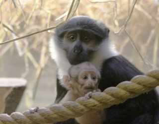 L'Hoest's Monkey and Baby