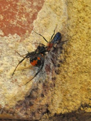 A redback spider-hunting wasp (Agenioideus nigricornis) dragging its paralyzed prey back to its nest.