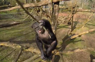 chimpanzee attacks drone