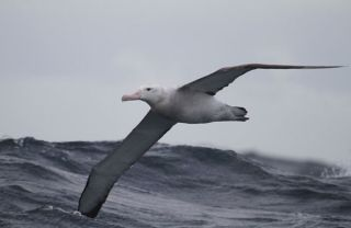 Wandering albatross rides the winds over the Southern Ocean. The ozone hole over Antarctica is believed to be largely responsible for changes in winds that are helping the birds forage.
