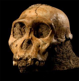 skull of a male juvenile Australopithecus sediba.