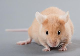yellow laboratory mouse isolated on grey background