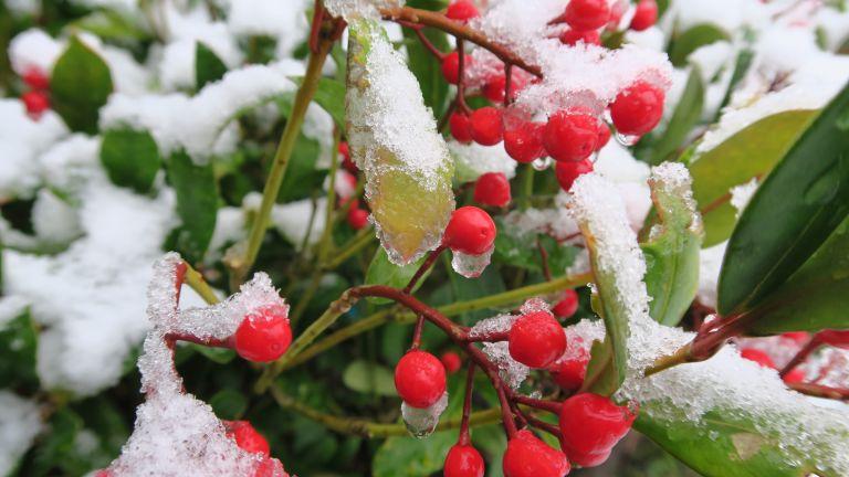 skimmia in winter