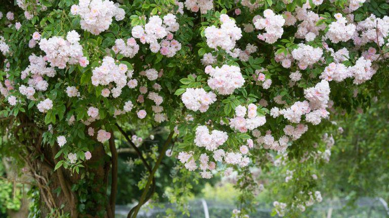 Paul's Himalayan Musk rambling rose growing up a tree in an English garden