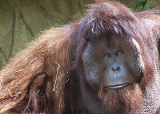 Doc the orangutan was euthanized after a battle with heart disease. he lived at the Houston Zoo.